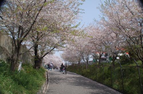 桜並木を歩いて行く。あいにく、桜は少し散り始めていた。