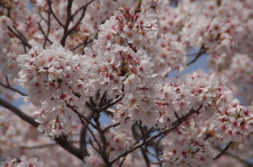 桜の色は春の色。