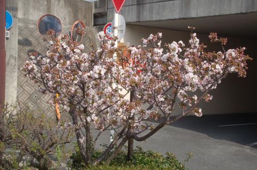 阪急摂津市駅に向かう途中で見つけた小さな桜。