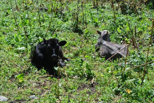 牛さんが休んでいます。