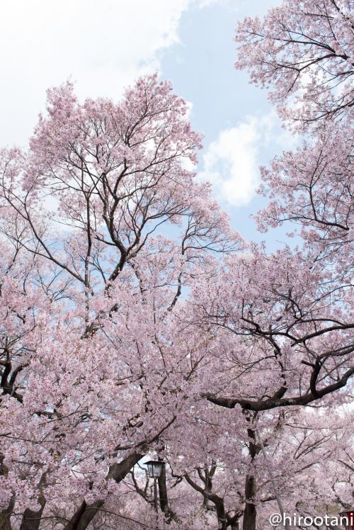 タカトウコヒガンザクラは、この地にしかない固有種で、花形はやや小ぶりで赤みが強いのが特徴です。高遠城址公園には明治8年ごらから植え始め、現在約1500本の樹林となっています。(チラシより)