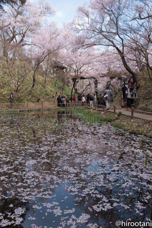 花筏と桜雲橋
