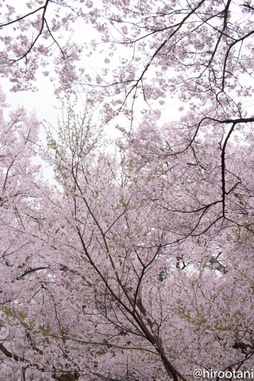 高遠の桜の満開を見るのは、これが初めて。素晴らしい。流石に「天下第一」と呼ばれるだけのことはあります。
