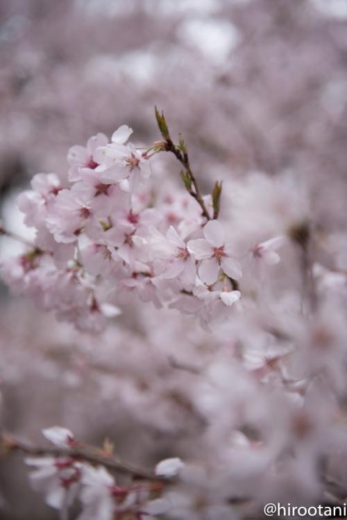 ソメイヨシノとは花の形と色がちょっと違います。