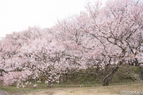南ゲートを出て、法幢院曲輪に回ります。斜面いっぱいに見事な桜が咲いています。