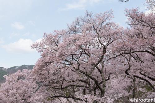桜の枝ぶりも見事です。