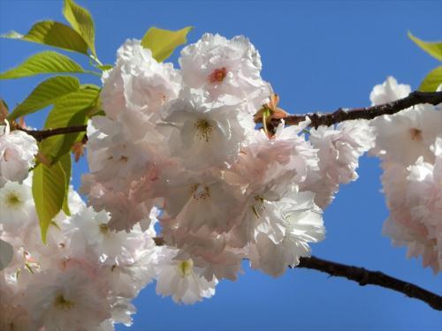 「松月」も造幣局内では存在感のある桜。