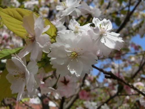 比較的開花が遅い「奈良八重桜」も満開。