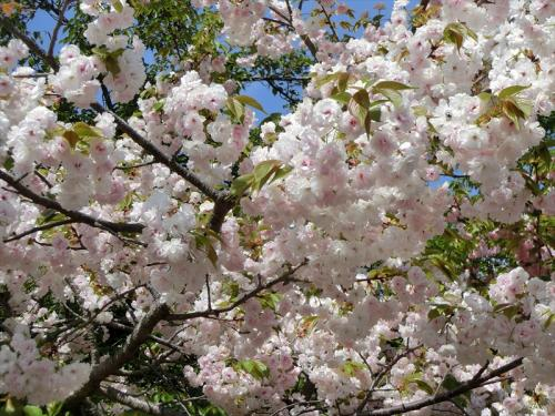出口近くの「渦桜」