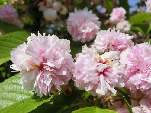 花弁が多い「兼六園菊桜」<br /><br />今年は八重桜も開花が早めだったようですが、問題なく楽しめました。