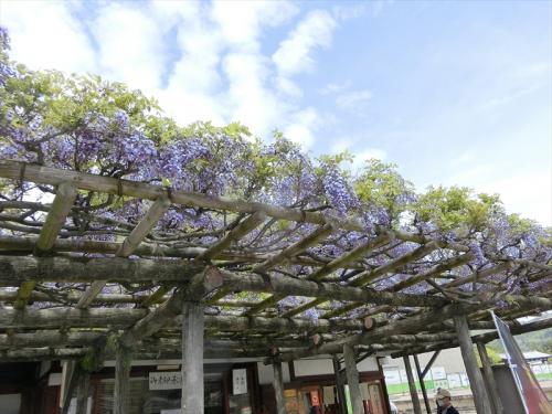 奈良へ移動。南円堂前の藤も開花。