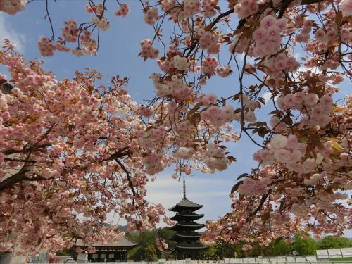北円堂と南円堂の間の八重桜も満開。