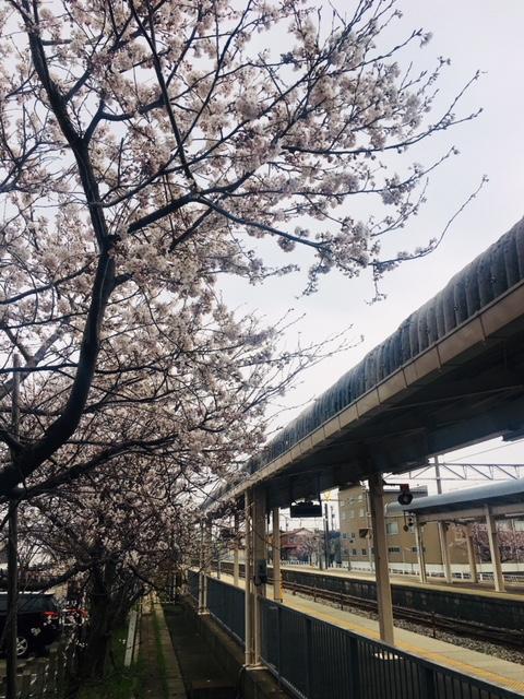 店長吉田の地元は石川県だけれども、金沢ではなく美川町という漁村にある。<br /><br />「美川県一の街」という看板が高速道路に建てられていた事でも有名?!だったりする。5月には「おかえり祭り」という大変盛り上がる祭りがあるのだけれど、金沢の百万石まつり同様、時期的にボクは忙しいこともあり、残念ながらもう10年以上参加出来ていない。。。<br /><br />写真はJRの美川駅でのもの。サクラがとてもきれいに咲いていたよ。