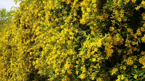 館内から見たカロラインジャスミンの花を出てから撮影しました。