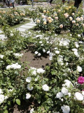 陽射しは強いものの、<br />日陰に入るとひんやり涼しく、<br />バラ観賞には最高の日よりでした。