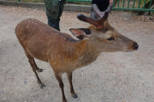 最終日は奈良駅周辺をさらっと観光して、夕方京都から東京へ戻ります。<br /><br />奈良公園の第一鹿。おとなしい。<br />角のフワフワをさわったら、若干ムッとされました。ごめんごめん。