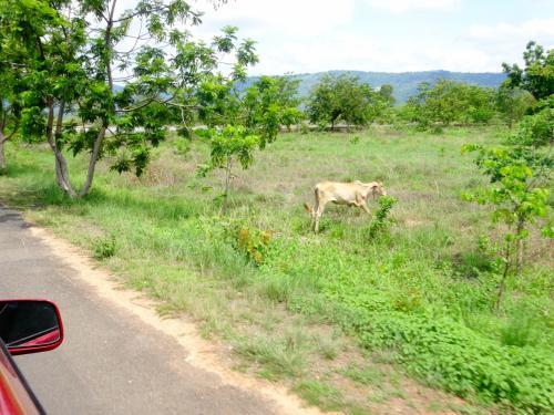 ガリガリの牛。