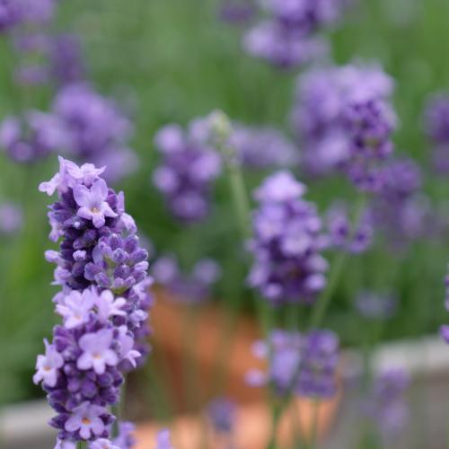 ラベンダーは良い香りの花ですが、アップにしてみると、キュートです♪