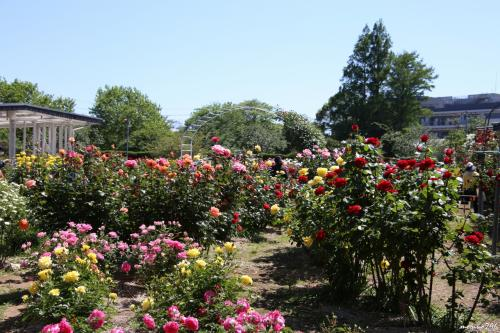 早速、バラ園に直行します。<br /><br />バラ園は中央の休憩所を中心に原種、オールドローズ、四季咲きのモダンローズ、ツルバラ約370品種、1200株を系統ごとの特性を生かしつつ景観を重視した立体的な植栽となっています。<br />神奈川で育成されたバラなどいくつかのコーナーがあり、芳香種が多いのも特徴です。