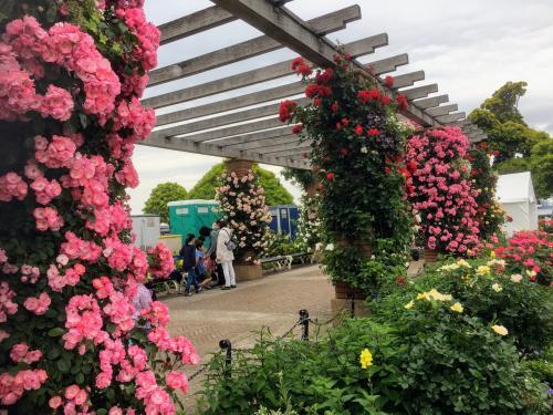 そんな中、山下公園の花壇はバラで埋め尽くされてます。