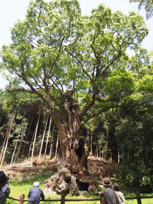 樹齢3000年の武雄の大楠。<br /><br />まだ朝の9時過ぎだったけど、人が結構いました。<br />