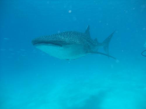 ジンベイザメとダイビングがしたくて、セブ島から悪路で3時間!でも、ジンベイザメ10頭以上居てやはり圧巻でした!