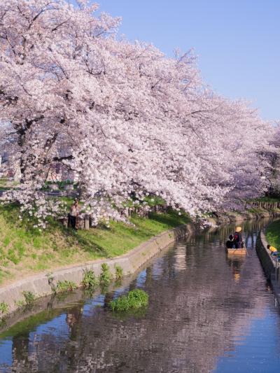 川沿いにずっと咲いている桜だけでも見事なのに、それを川面から舟に乗って眺めることができます。