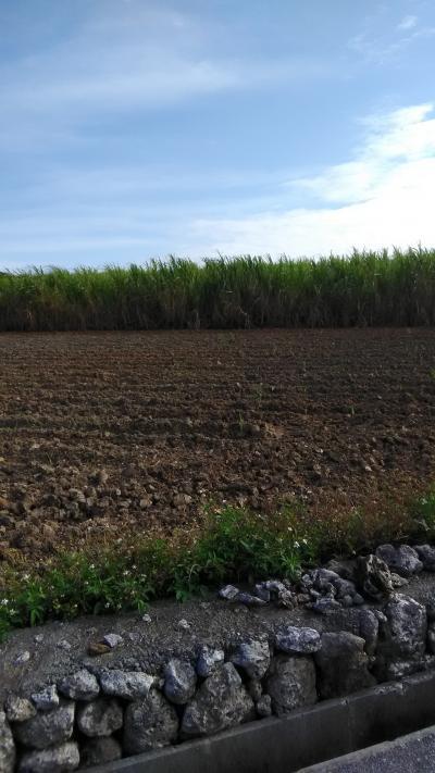 サトウキビ畑が美しいですね!