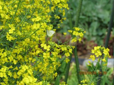 畑作地帯に再び戻りました。菜の花で吸蜜しているモンシロチョウ