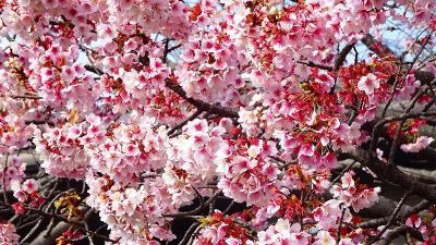 その2からの続きです。<br /><br />満開の寒桜。