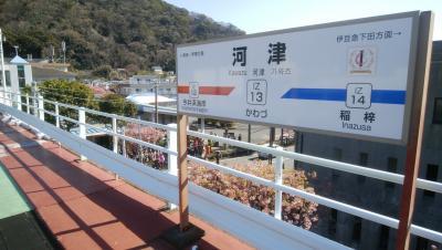 熱海駅に8:20到着<br />伊豆急のリゾート21が停車していたのですが満員で次の列車待ち<br /><br />次の列車はリゾートでなかったのには残念<br />10:20河津駅に到着です<br />駅下には早くも河津桜のお出迎えです