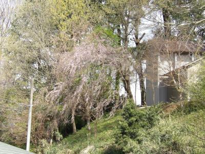 南足柄神社(飯沢八幡社)の枝垂れ桜。