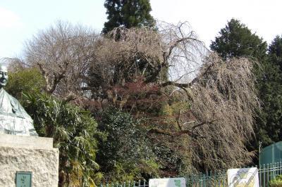 綾華幼稚園の隣に巨大な枝垂れ桜。