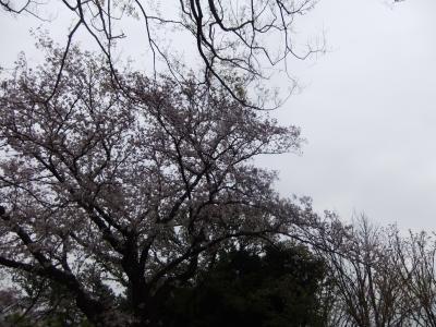 登り坂の歩道側に咲いています