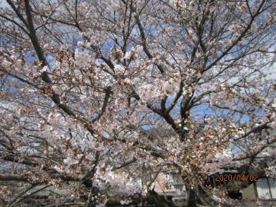 石手寺にむかうへんろ橋の桜