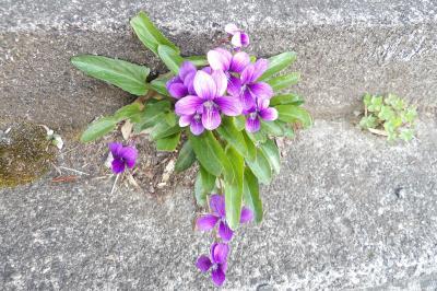 青紫のスミレ。