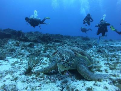 巻貝をガッツリ食べているこの子はアカウミガメちゃんです!<br />貝等を食べる肉食系カメちゃんなので顔と顎が大きめです☆<br />目と目の間の鱗が5つに分かれているのも特徴です。<br />アカウミガメは全体的に赤っぽいからその名前が付いたらしいですが<br />海の中で見ると全然分からないので鱗や甲羅で判断した方が良いと思います。<br />アオウミガメ、アカウミガメともに絶滅危惧種なので大事に見守りたいですね