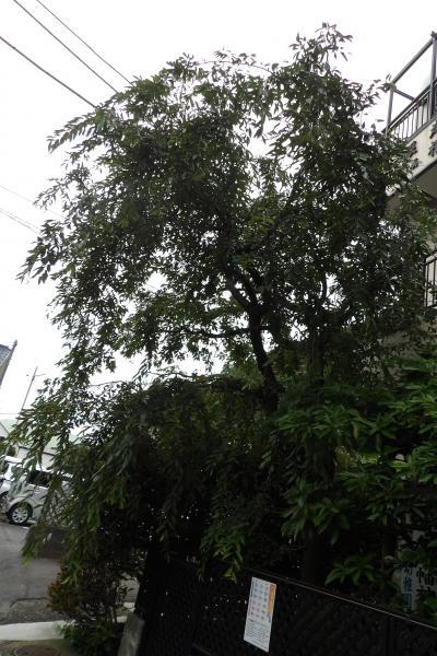 上の参集殿横の枝垂れ桜。