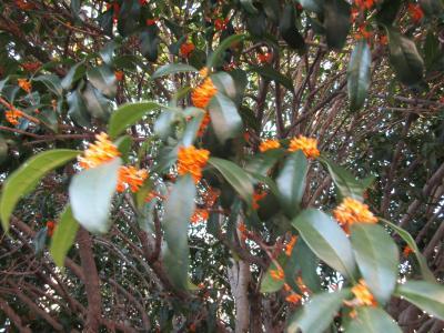 三度咲きの金木犀の花。