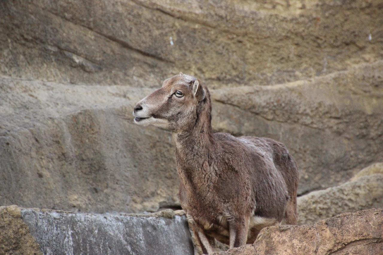 『早春のレッサーパンダ詣で千葉市動物公園にやっと再訪(3 ...