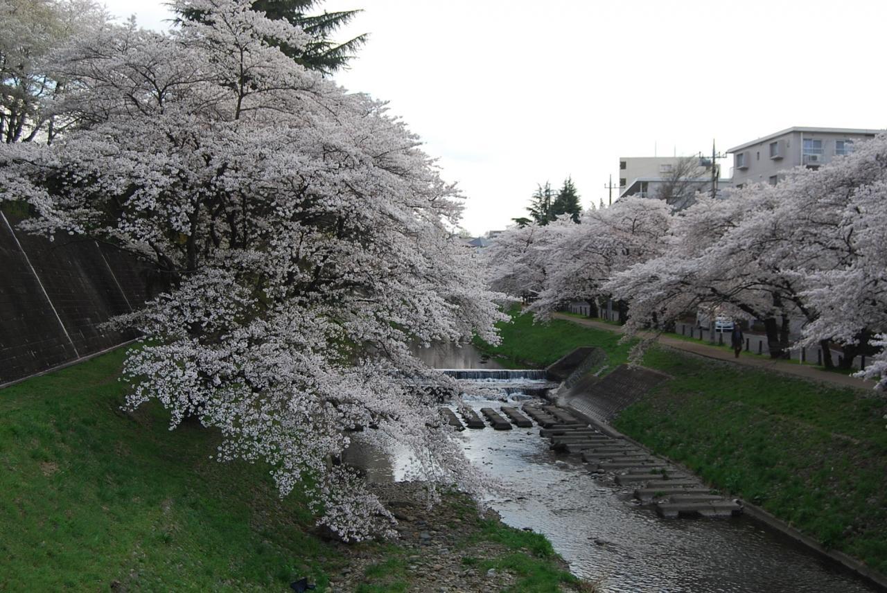 『満開の桜を求めてのハイキング⑤霞川の桜』狭山・入間(埼玉 ...