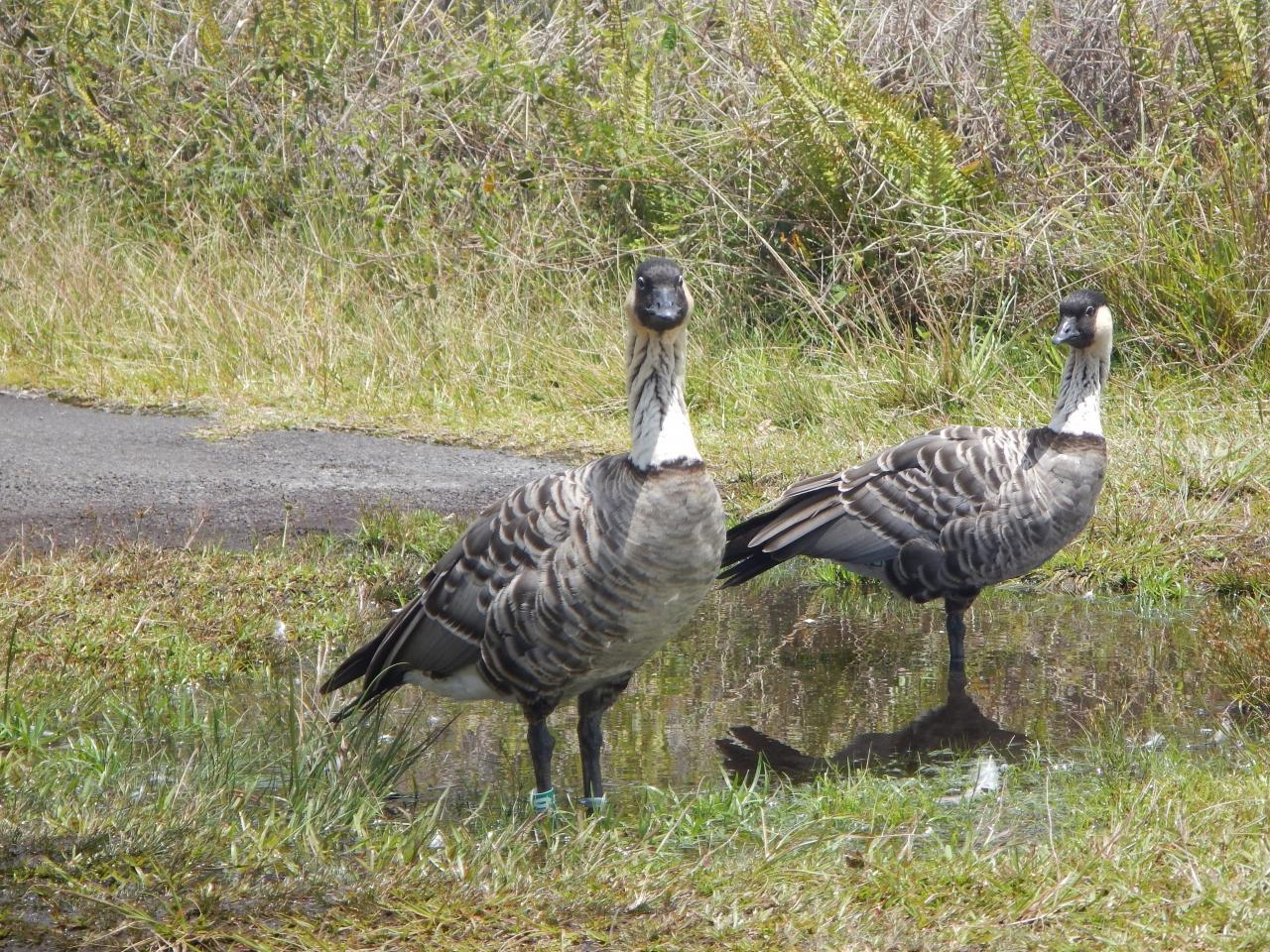 """ハワイ州鳥の""""ネネ""""がトレイルヘッドでお出迎え。"""