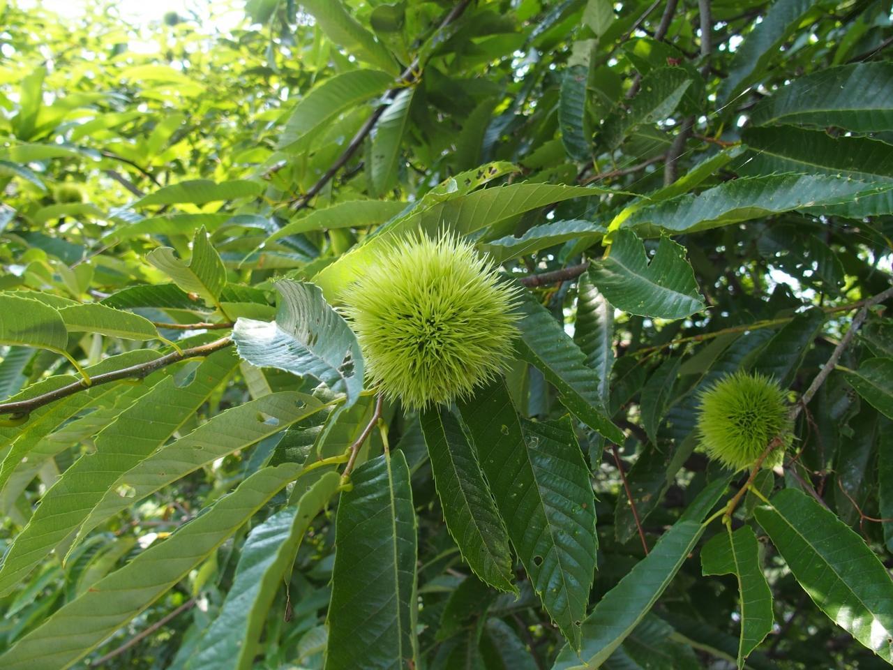 「多治見栗の木」の画像検索結果