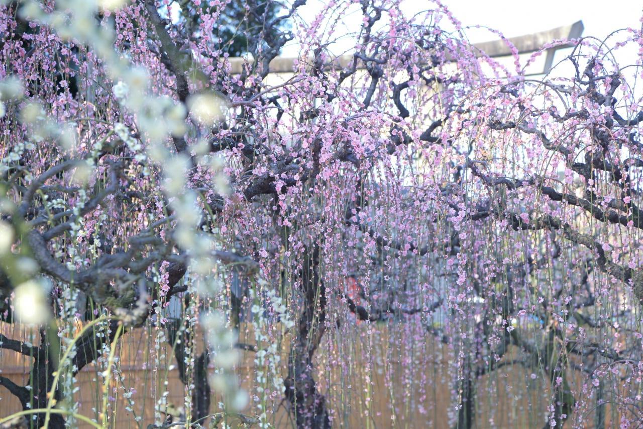 三重 結城神社の枝垂れ梅