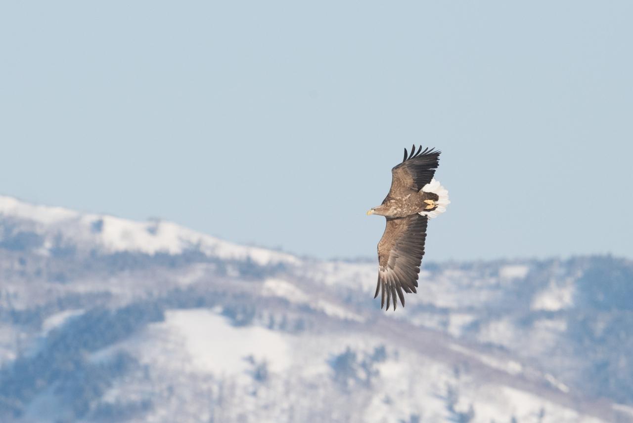 世界最大級のワシ、オオワシとオジロワシが晴れた空を飛び、流氷の海に