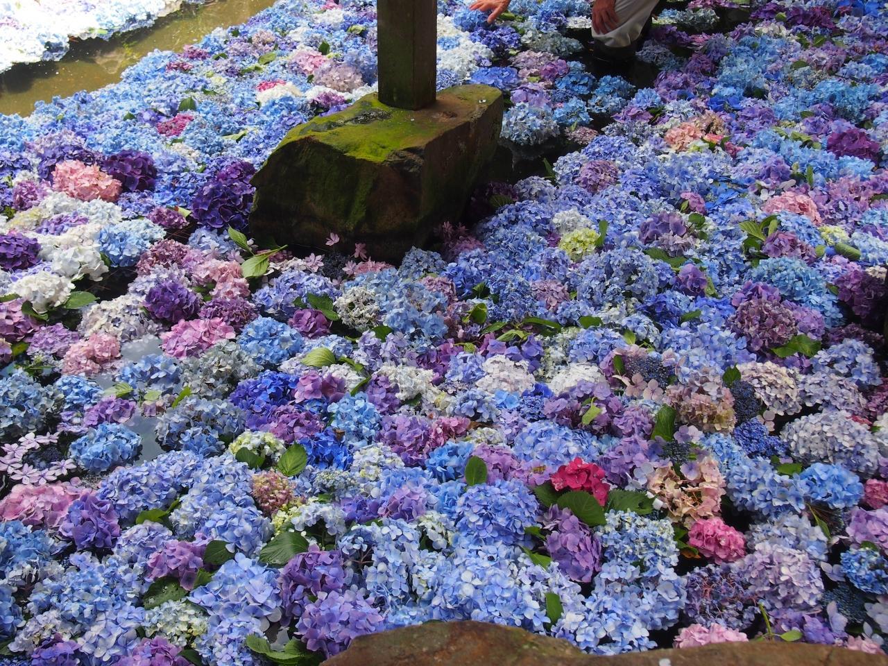 雨引山観音 紫陽花