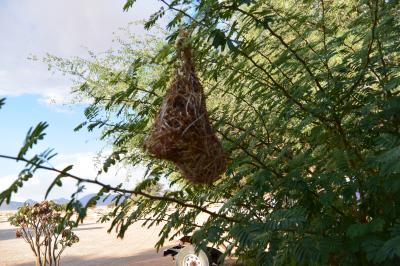 ホテル前のハタオリドリの巣