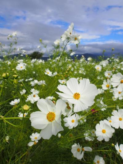 のんびりまったり、空の広いお花畑