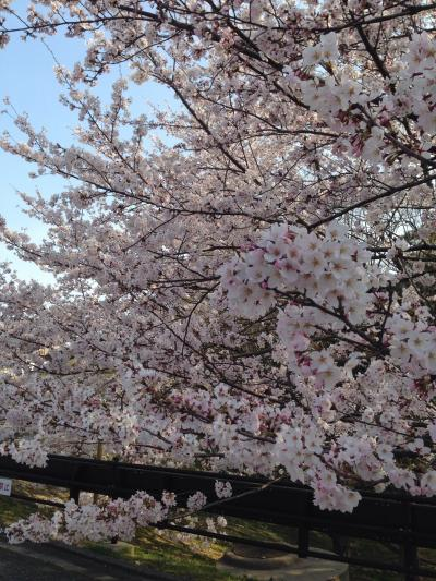 落ち着いて桜鑑賞