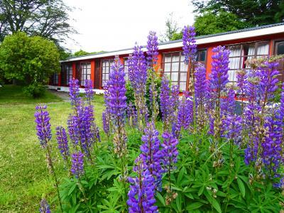 部屋はルピナスが咲く中庭に面しています